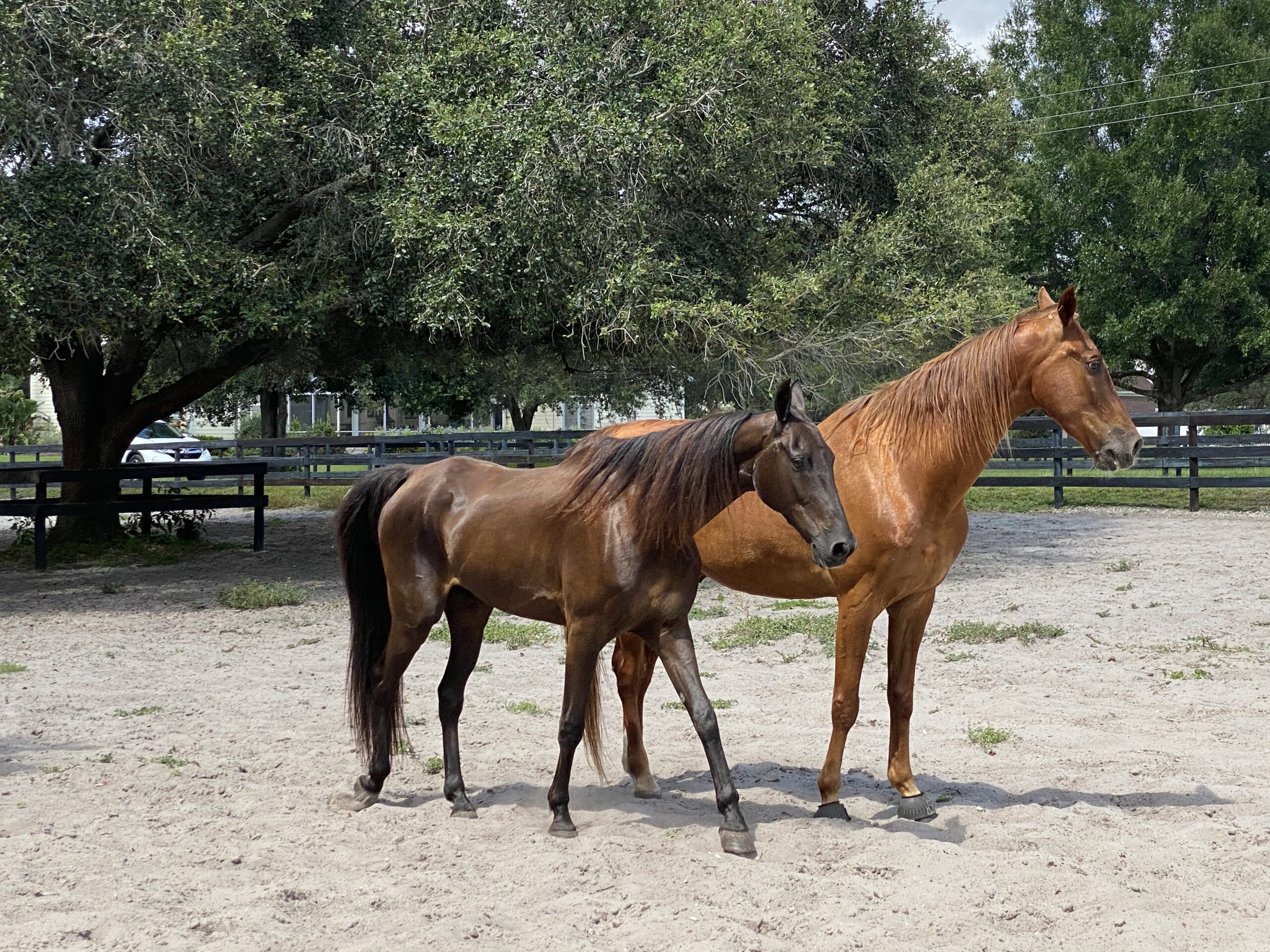 Horse Training at Licciardello Stables in Lutz, Florida