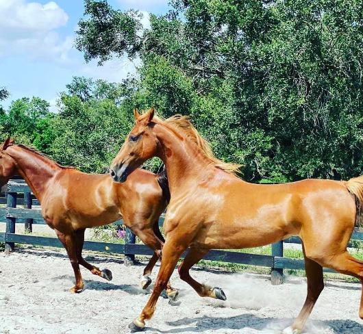 Horse Boarding at Licciardello Stables in Lutz, Florida